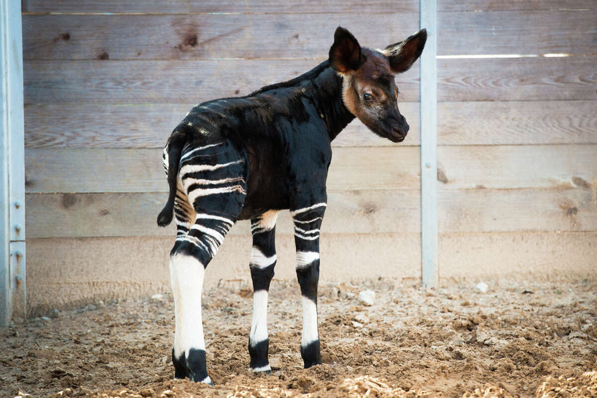 This baby okapi looks like a zebra but is actually related to a giraffe. The 40 pound male is the latest addition to Houston Zoo and was born November 6. The as yet un-named calf is the first ever okapi born at the zoo.