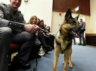 Canine Hurley looks around for some attention at the New York State Police Canine Handler Team Basic School Graduation ceremony Thursday afternoon, Nov. 20, 2014, at the State Police Academy in Albany, N.Y.  His handler, Anthony Santoro, will be stationed at SP Wilton. He is one of 14 new canine teams that received diplomas during the ceremony. (Skip Dickstein/Times Union)