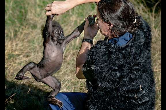 Animal keeper Amy Corso plays with infant gorilla Kabibe at the San Francisco Zoo gorilla preserve on October 3, 2013. Kabibe died in a tragic accident earlier this month.