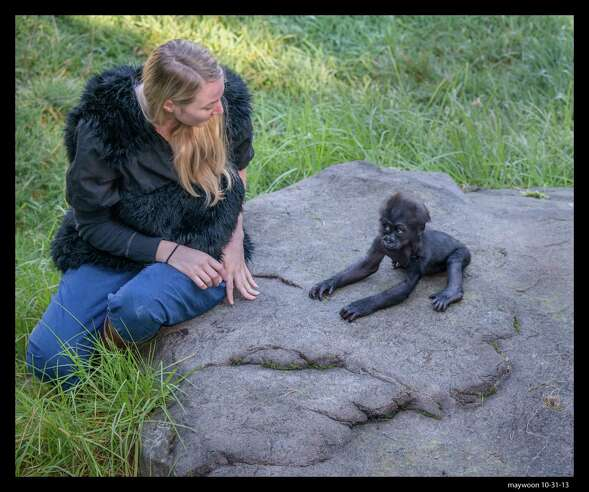 Animal keeper Kelly Blakemore plays with infant gorilla Kabibe at the San Francisco Zoo gorilla preserve on October 31, 2013. Kabibe died in a tragic accident at the zoo earlier this month.