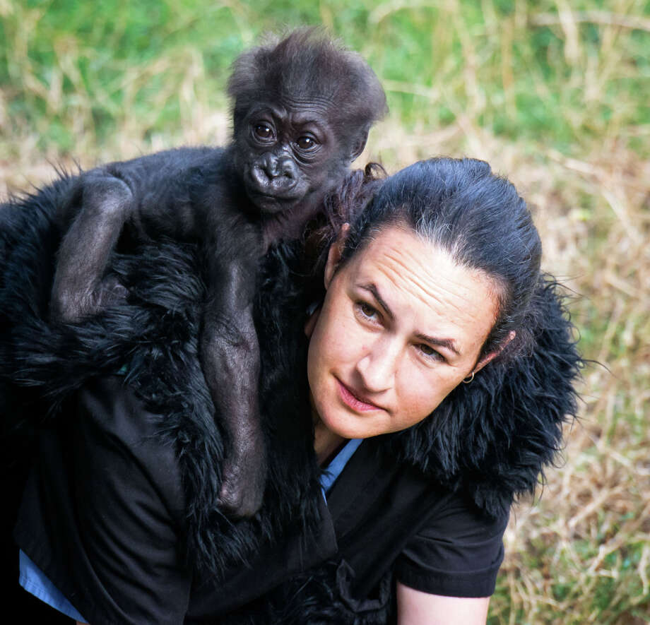 Animal keeper Amy Corso plays with infant gorilla Kabibe at the San Francisco Zoo gorilla preserve on October 19, 2013. Kabibe died in a tragic accident earlier this month. Photo: May Woon / ONLINE_YES