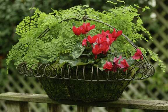 Combine cyclamen and maidenhair fern in an attractive container for a festive holiday touch on a deck or patio.