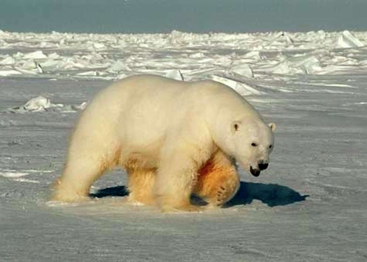 A male polar bear in the Beaufort Sea of Alaska. A 2005 study proved shrinking sea ice was affecting the bear population.