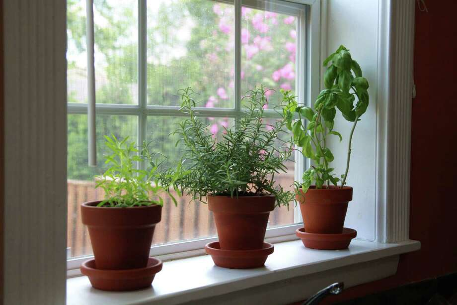 Basil is especially susceptible to the cold, and should be brought in during the cold months. Rosemary and basil will bring summer flavor to winter dishes when set on a bright windowsill. Photo: Gina Kelly / Getty Images / First Light