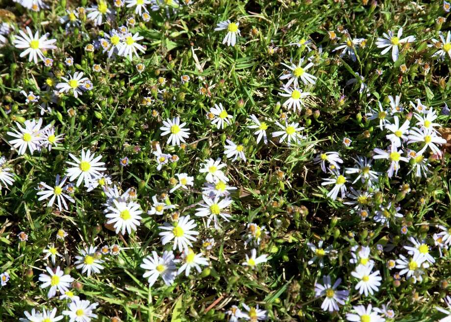 Roadside asters thrive where lawn grass thins out. Photo: Courtesy