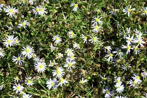 Roadside asters thrive where lawn grass thins out.