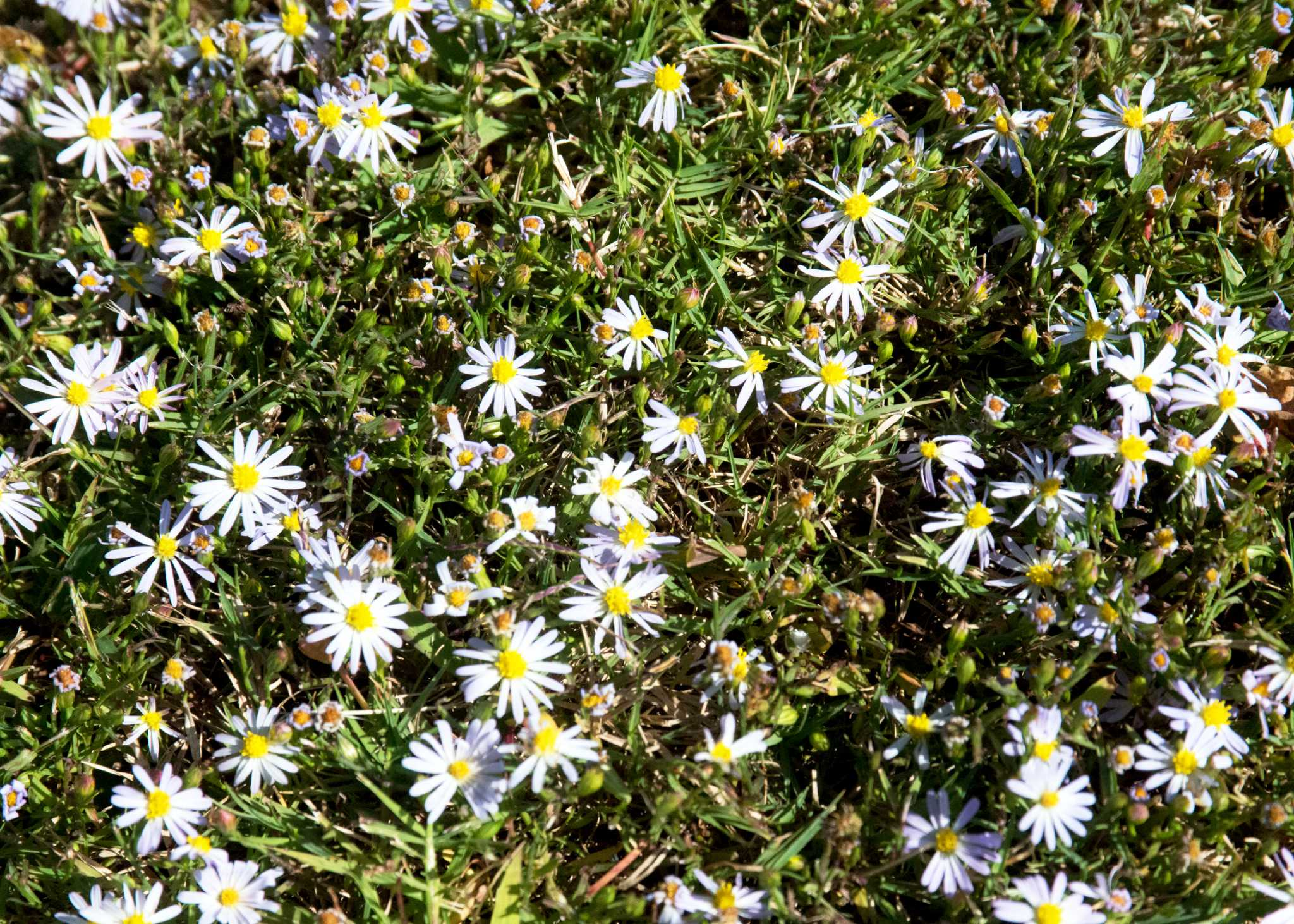 Neil Sperry Roadside Aster Pops Up In Lawns San Antonio Express News