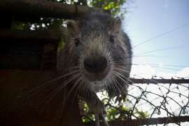 In this Nov. 17, 2014 photo, Pancho, a domesticated hutia, confronts a camera, in Bainoa, Cuba. With their rope-like, dark tails, long front teeth, and whiskers that appear to be vibrating, hutias look like giant rats. They measure nearly a foot long (about 30 centimeters), with the largest ones weighing in bigger than a small dog.