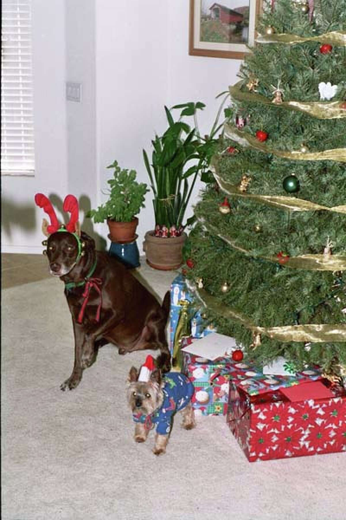No. 2 - Virginia Rizzari In this photo Buddy and Bam Bam are celebrating Christmas 2004. They are now in Doggie Heaven and are dearly missed. They were quite the entertaining pair!