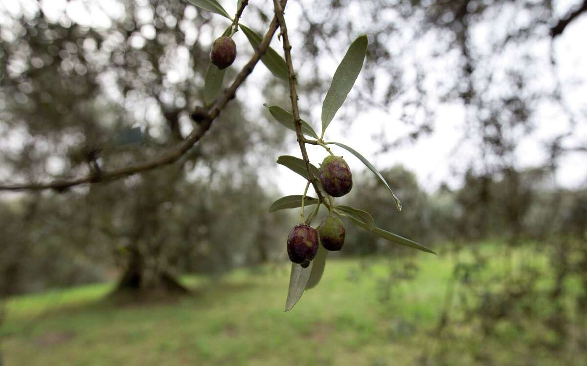 In this Thursday, Nov. 13, 2014 photo, damaged olives hang in the grove belonging to Augusto Spagnoli, an oil producer from Nerola, 50 kilometers (31 miles) away from Rome. Italy's 2014 olive harvest was declared by both producers and experts as the worst in history, due to adverse climatic conditions which helped the olive fly proliferate, thus destroying the olives before they could be harvested. (AP Photo/Alessandra Tarantino)