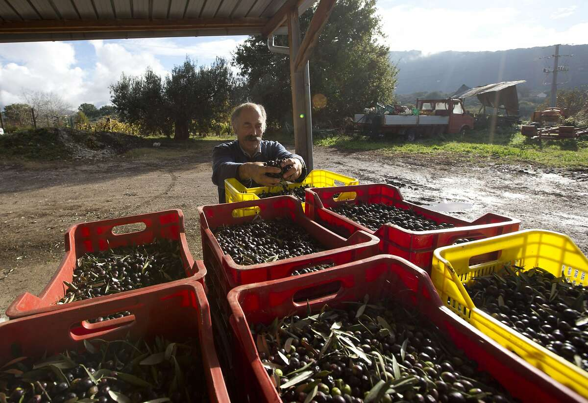 In this Thursday, Nov. 13, 2014 photo, Augusto Spagnoli, an oil producer, poses with his harvest during an interview with The Associated Press, in Nerola, 50 kilometers (31 miles) from Rome. Italy's 2014 olive harvest was declared by both producers and experts as the worst in history, due to adverse climatic conditions which helped the olive fly proliferate, thus destroying the olives before they could be harvested. (AP Photo/Alessandra Tarantino)