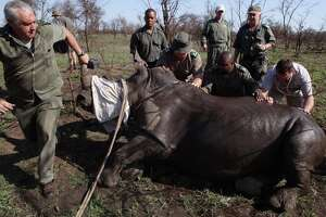 South Africa trucking rhinos to safety from poachers - Photo