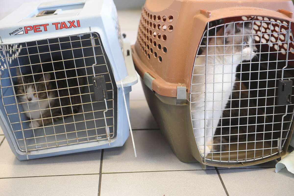 Two cats rest in their cages at the Troy Veterinary Hospital during Operation Snip Round Two on Sunday, Feb. 17, 2013 in Troy, NY. (Paul Buckowski / Times Union archive)
