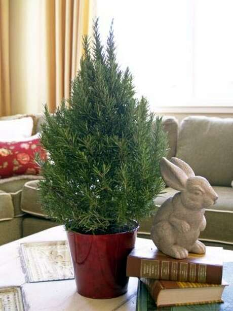 In addition to looking like a Christmas tree, a rosemary topiary will bring the heady scents and flavors of the Mediterranean into the house.  Photo: FRESHTOPIARY.COM