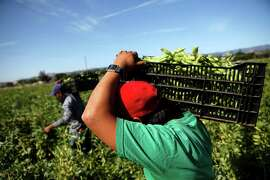 Farmworkers, including Everardo Flores (right), carry crates of freshly picked fava beans at Mellow's Nursery & Farms in Morgan Hill in May.
