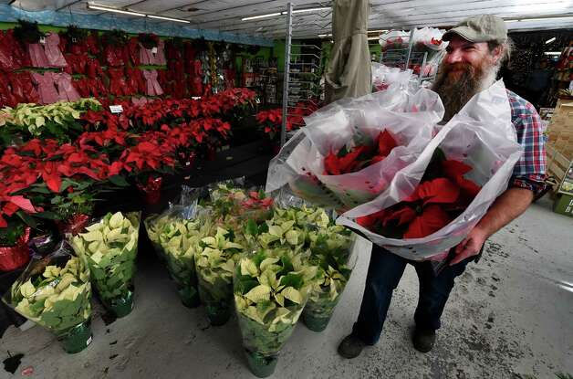 Shane Compton puts fresh poinsettia plants out for sale store in preparation for the holiday season Friday afternoon, Nov. 21, 2014, at Hewitt's in Latham, N.Y. Compton said that the store may sell over a thousand of the plants by Christmas.  (Skip Dickstein/Times Union) Photo: SKIP DICKSTEIN