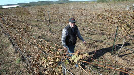 John Rivenburgh observes seasonal dormancy of plants as he walks through his Bending Branch vineyard and wine producing plant near Comfort on November 20, 2014. The facility has experienced only mild effects from herbicides used in nearby farming operations.