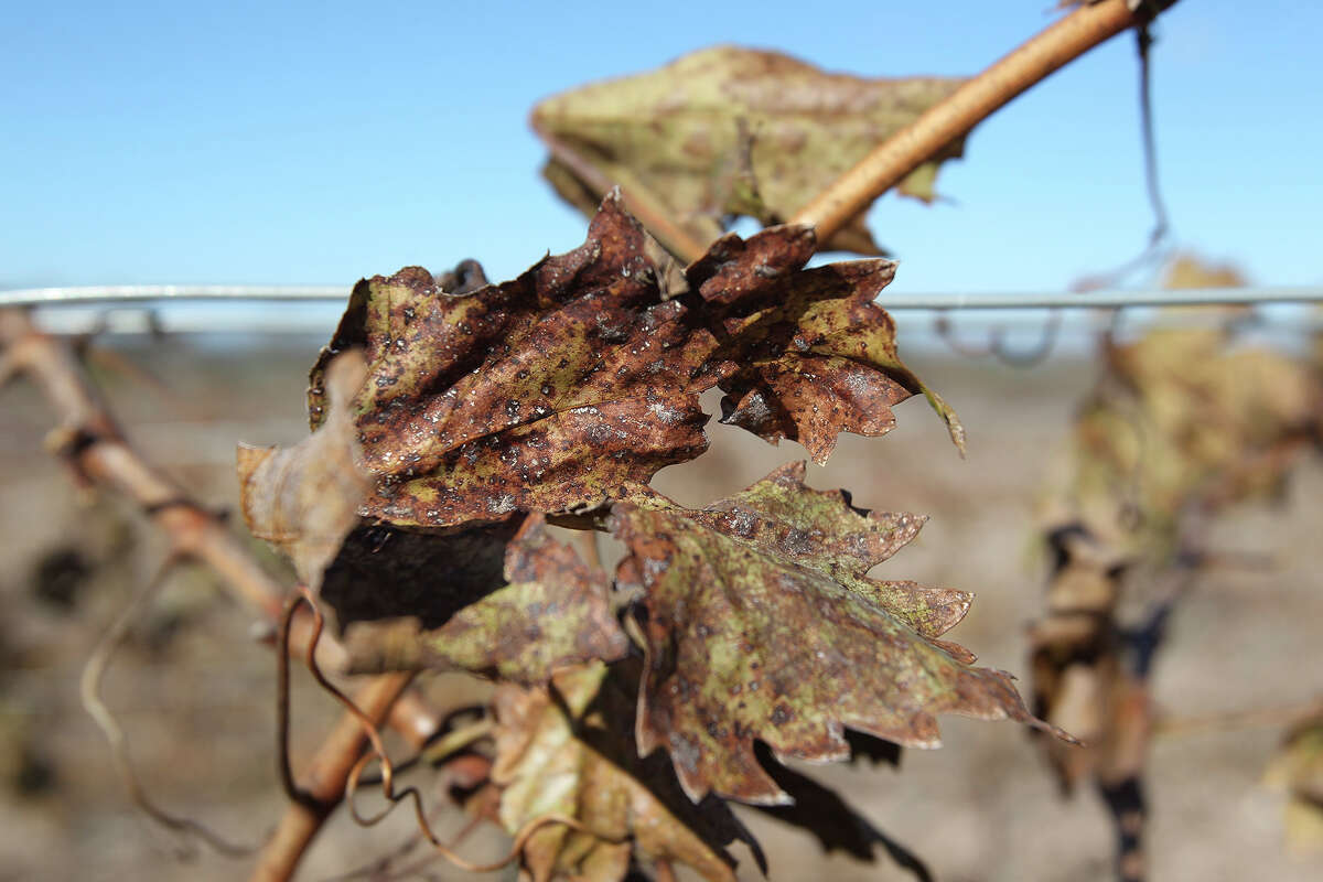 Recent cool temperatures have brought normal seasonal discoloration on remaining grape vine leaves at the Bending Branch vineyards near Comfort.