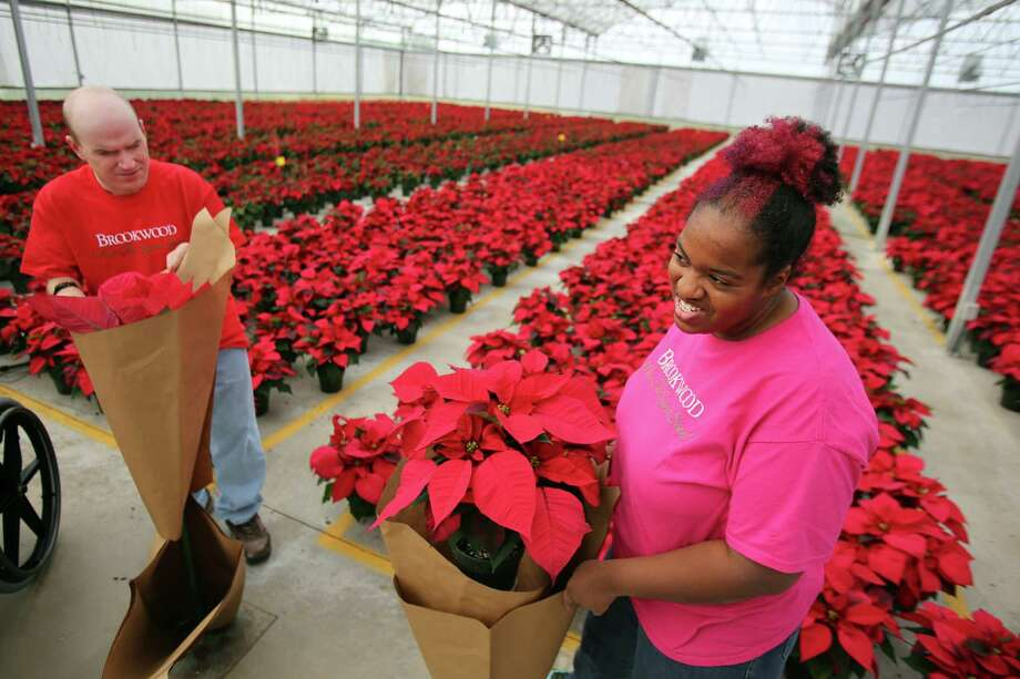 Brookwood residents Max Reichek, 33, and Alex Laster, 28, sleeve poinsettias at Brookwood Community. Photo: Mayra Beltran, Staff / © 2014 Houston Chronicle
