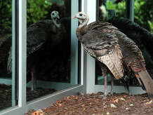 A wild turkey stands near the reflective window of an office building in Bridgeport, Conn. July 23, 2014. For many months the lone bird was frequently seen in downtown Bridgeport, but now police are investigating a report that it was recently chased down and killed at the hands two men.