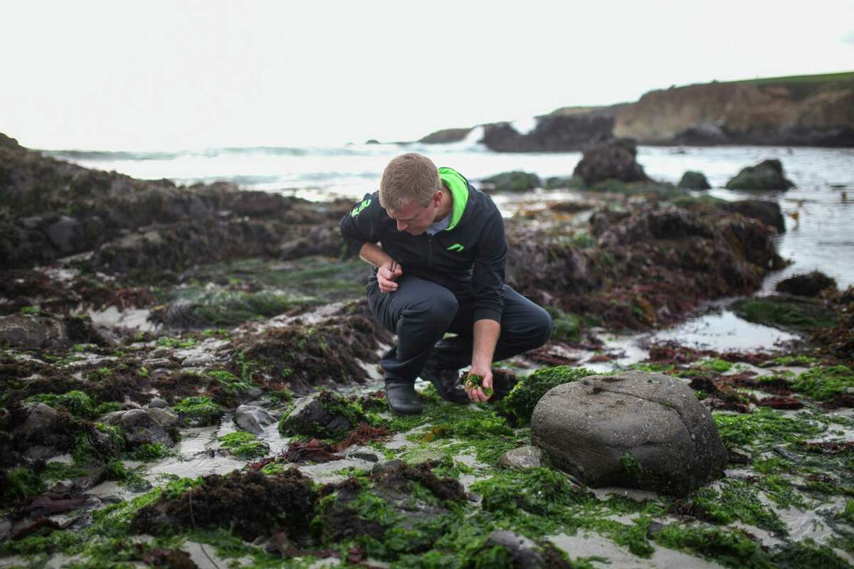 Justin Cogley, executive chef at Auberge in Carmel, forages for seaweed for his restaurant.