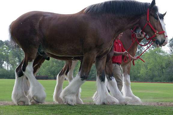 Budweiser Clydesdales are prepared for local appearances earlier this year at the Houston Polo Club.