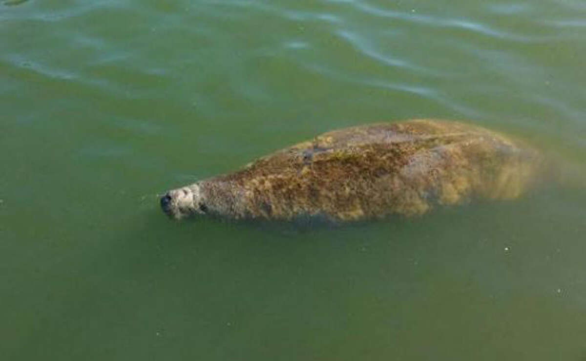 A manatee spotted Nov. 24 near Baytown was rescued by state and federal officials with volunteer help, and is rehabilitating at Sea World in San Antonio.