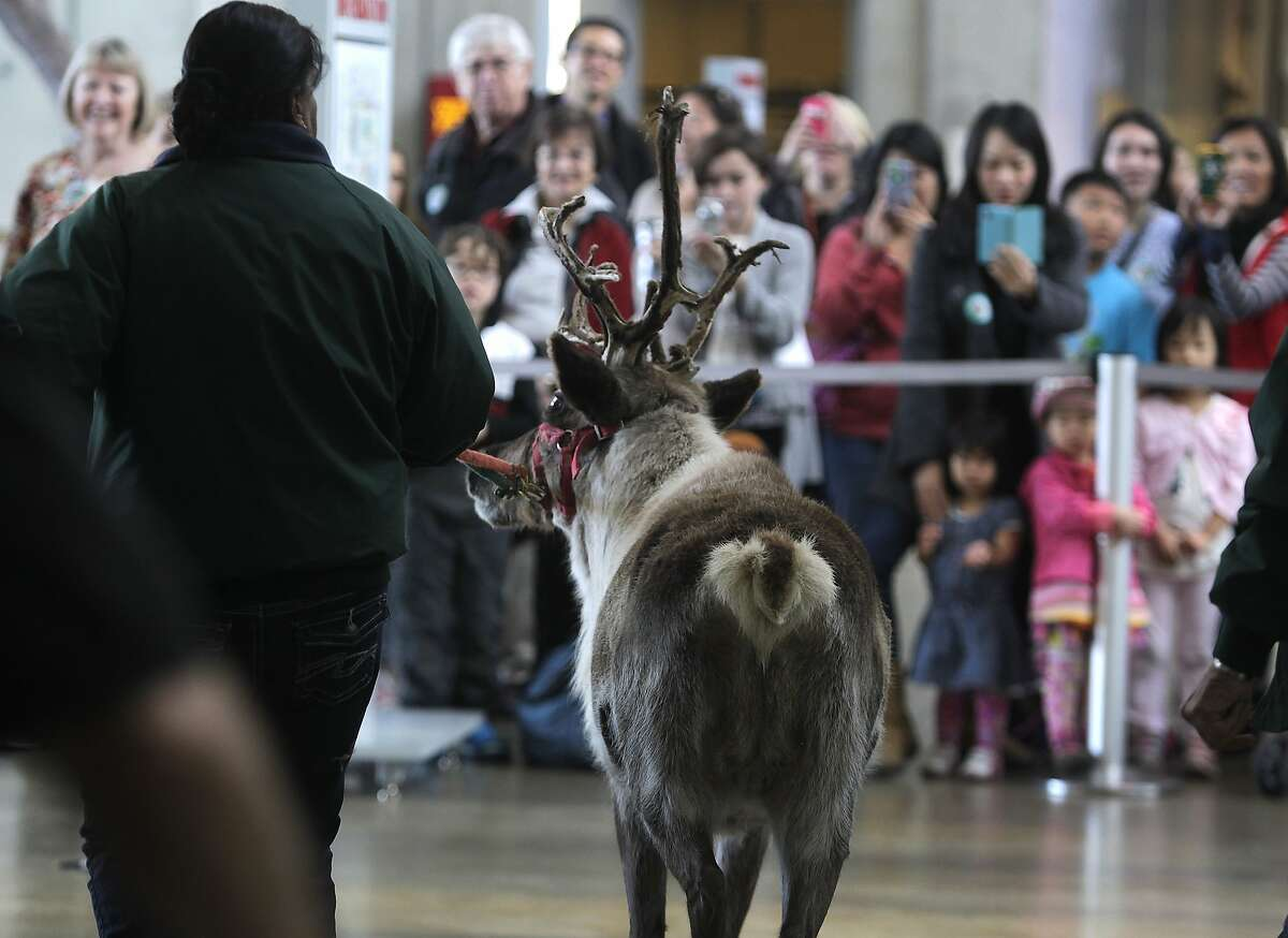 Willow the reindeer is escorted past California Academy of Sciences visitors after grazing on the Living Roof in San Francisco, Calif. on Tuesday, Nov. 25, 2014. A pair of reindeer, Yukon and Willow, will reside in the East Garden during the Academy's annual 'Tis the Season for Science exhibit during the winter holiday season through Jan. 4.