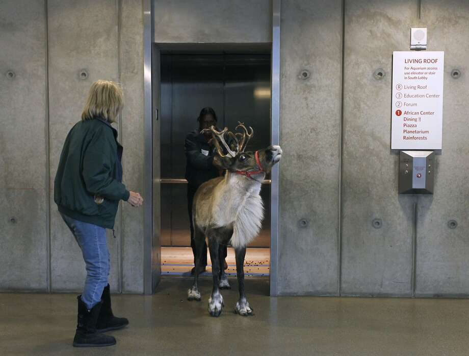 Diana Frieling (left) and Roena Ross escort Willow the reindeer from an elevator after grazing on the Living Roof at the California Academy of Sciences in San Francisco, Calif. on Tuesday, Nov. 25, 2014. A pair of reindeer, Yukon and Willow, will reside in the East Garden during the Academy's annual 'Tis the Season for Science exhibit during the winter holiday season through Jan. 4. Photo: Paul Chinn, The Chronicle