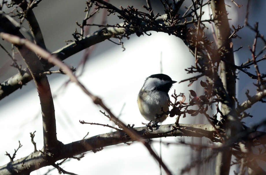 A Black-capped Chickadee rests on a branch during the annual Christmas Bird Count at the Greenwich Audubon on Riversville Road in Greenwich, Conn., on Dec. 18, 2011. The count returns this year on Dec. 14, 2014. Photo: Amy Mortensen / Connecticut Post Freelance