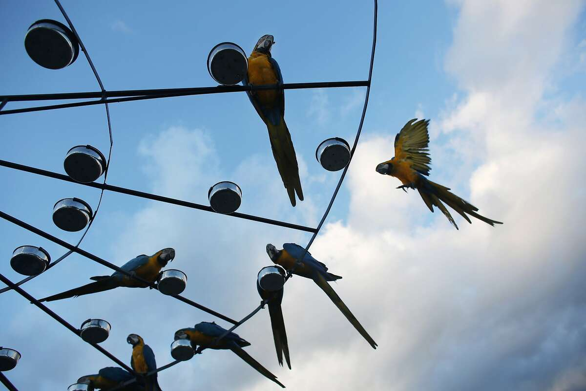 In this Nov. 19, 2014 photo, macaws feed perched on a circular platform with 58 feeder bowls on the roof of an apartment building in Caracas, Venezuela. The city of around 6 million people does not seem welcoming for exotic birds. But the macaws supplement the food they forage with snacks bird lovers leave for them. (AP Photo/Ariana Cubillos)