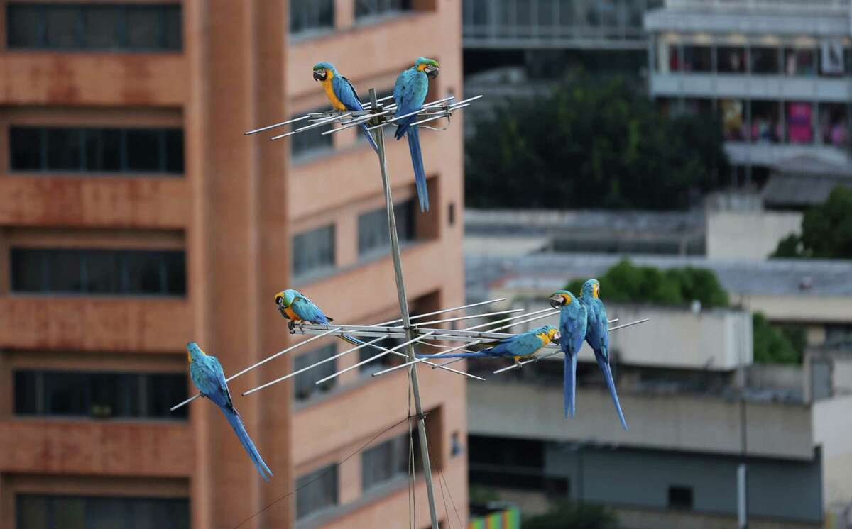 Macaws are a common site in on ledges of high-rise buildings or perched on antennas. They supplement the food they forage with snacks birders leave for them.