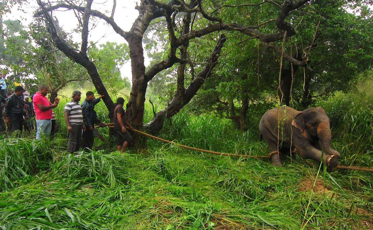 KILLER ELEPHANT: Volunteers and wildlife officials try to restrain a rogue elephant that reportedly trampled a cyclist and a bystander to death near Buddhism's most sacred tree in the Sri Lankan town of Anuradhapura. Authorities fired tranquilizer darts to subdue the animal and were trying to relocate it. Legend has it that the tree, known as the Sri Maha Bodi, was grown from a sapling in India that sheltered the Buddha when he attained enlightenment more than 2,550 years ago.