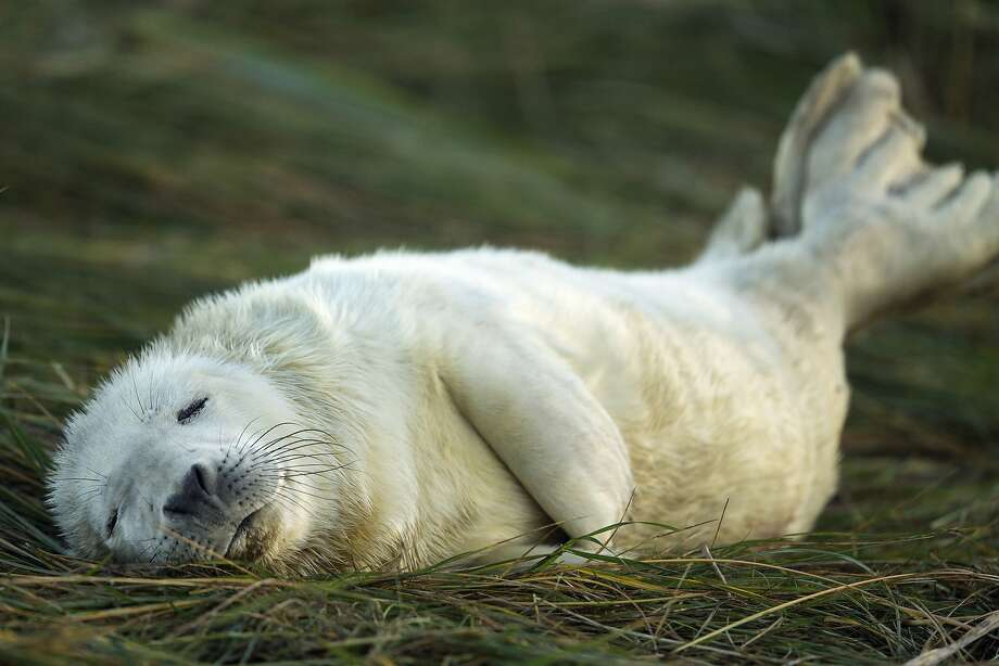 OHHH, I ATE TOO MUCH TURKEY: A grey seal is thankful for the comfy grass and warm sun at  the Lincolnshire Wildlife Trust's Donna Nook nature reserve in Grimsby, England. Photo: Dan Kitwood, Getty Images