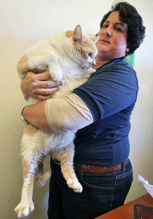36 Pound Cat Found In San Antonio Will Undergo Weight Loss