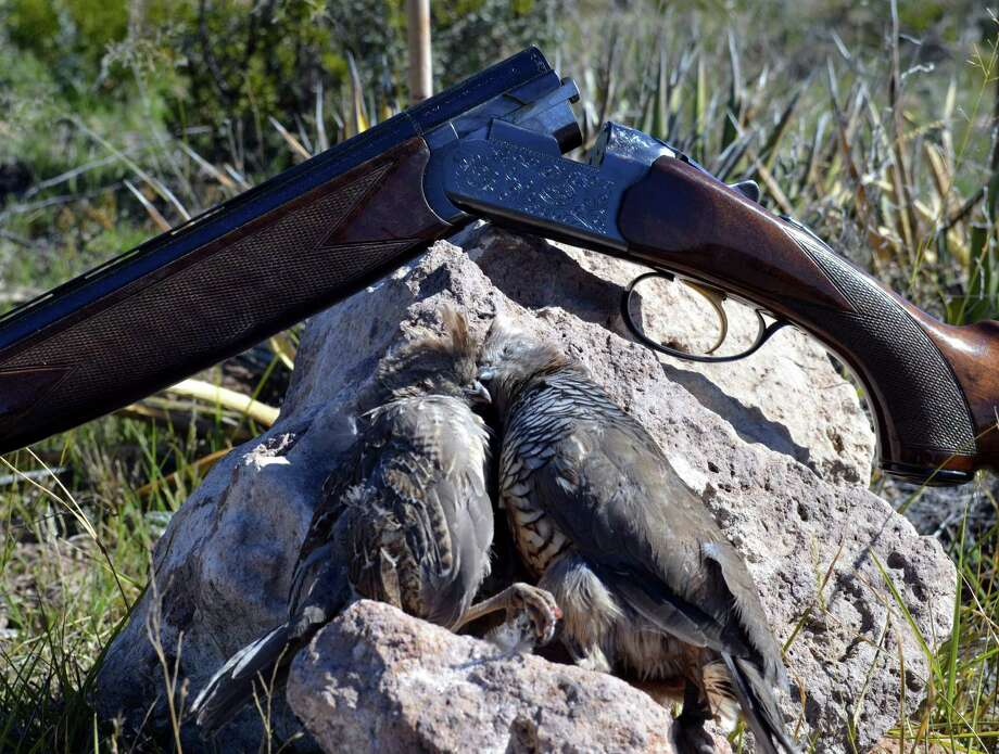 This pair of scaled quail, the one on the left is about three-quarters grown, were among the blues that are putting West Texas hunters skills to the test this fall.