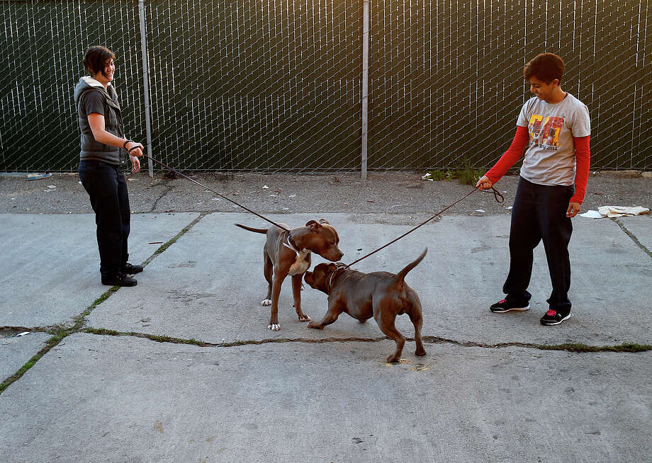 Volunteers at the Animal Control center socialize two pit bulls in their care Tuesday November 25, 2014. San Francisco's Animal Control agency will soon get more officers to help with the overwhelming number of calls they respond to. Photo: Brant Ward / The Chronicle / ONLINE_YES