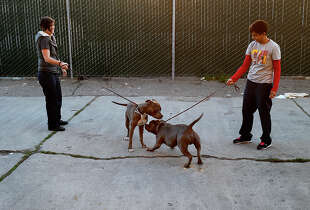 Volunteers at the Animal Control center socialize two pit bulls in their care Tuesday November 25, 2014. San Francisco's Animal Control agency will soon get more officers to help with the overwhelming number of calls they respond to.