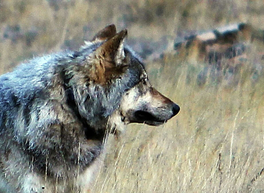 This Oct. 27, 2014 photo from the Arizona Game and Fish Department shows a gray wolf that was spotted north of the Grand Canyon in northern Arizona. Wildlife officials have confirmed the presence of the first gray wolf in northern Arizona in more than 70 years. U.S. Fish and Wildlife Service spokesman Jeff Humphrey said Friday, Nov. 21, 2014 that analysis of the animal's scat shows it's from a Northern Rockies population. The wolf is believed to have traveled at least 450 miles into northern Arizona, where it's been spotted at the Grand Canyon and the adjacent forest. The wolf has a radio collar, but it hadn't been transmitting a signal. Biologists tried to capture it to replace the collar but suspended their efforts because of cold weather.(AP Photo/Arizona Game and Fish Department) Photo: Associated Press / Arizona Game and Fish Department
