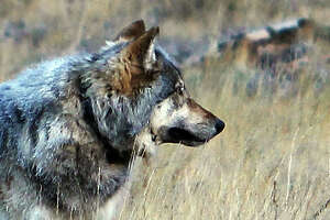 Endangered wolf back in Arizona after 70-year absence - Photo