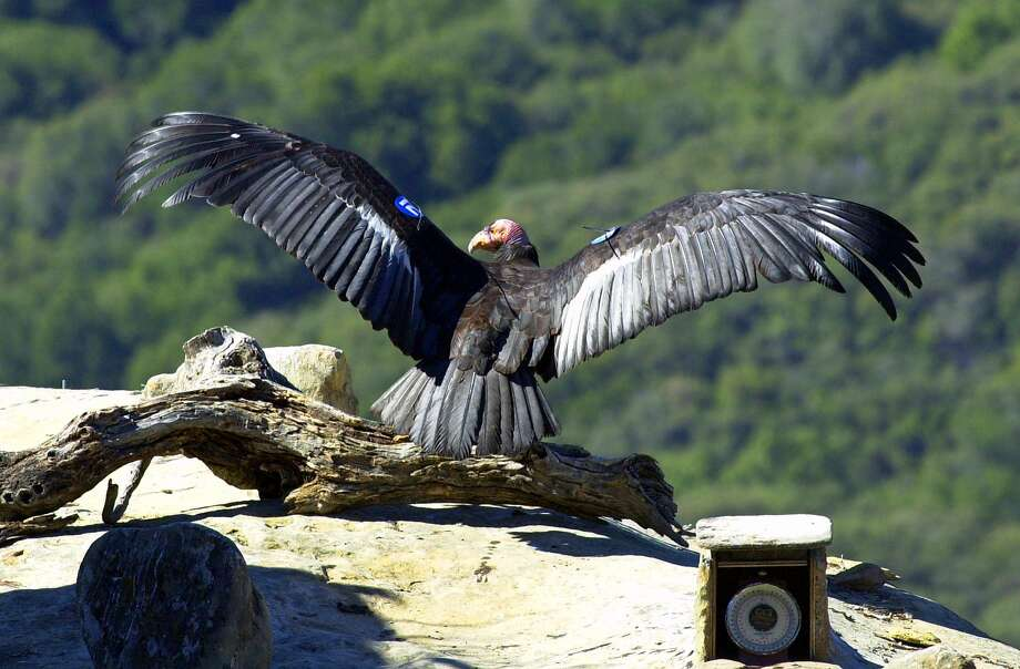 This is an April 4, 2000, photo showing Adult Condor 8 as she was being released back into the wild near the Sesspe Condor Sanctuary near Fillmore, Calif.  Photo: Scott Frier, AP