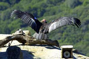 Video camera gives new perspective on life in condors' nest - Photo