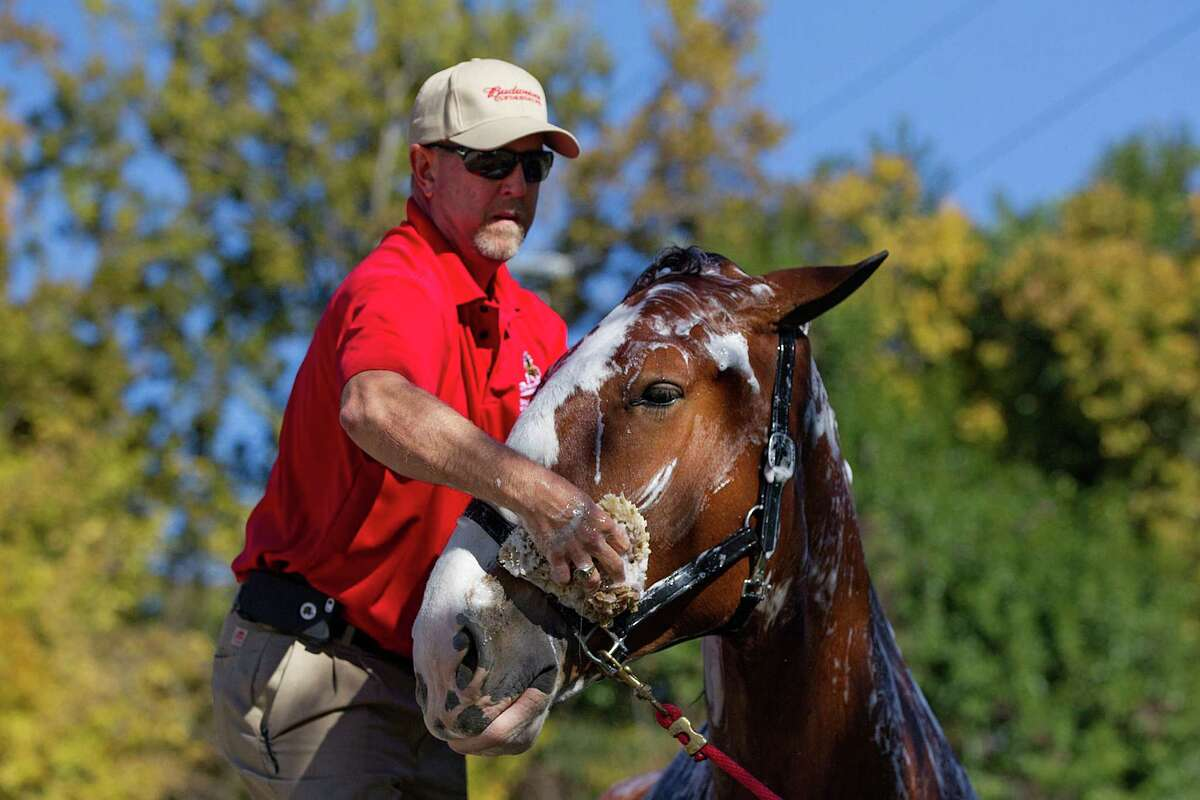 David West washes King, a Budweiser Clydesdale at the Houston Polo Club as 10, 2,000-pound Budweiser Clydesdales were walked, washed and trimmed in preparation for their appearance in the the 65th Annual H-E-B Thanksgiving Day Parade on Thursday, Nov. 27, 2014, in Houston.