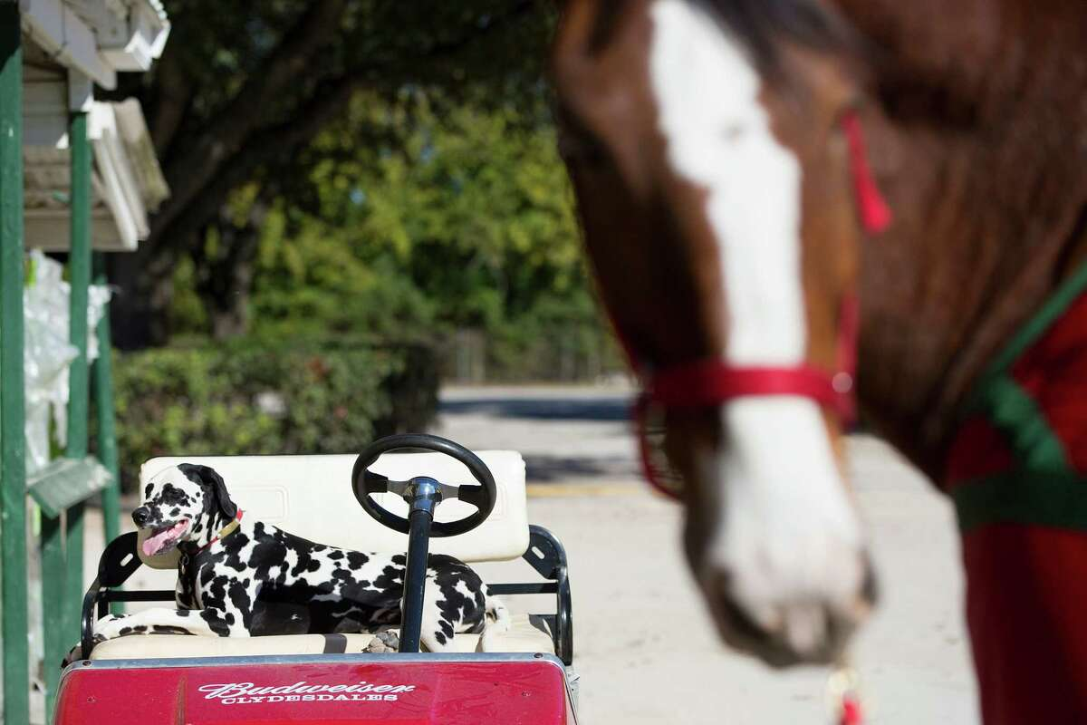 Clyde, the Budweiser Dalmatian, relaxes on a golf cart next to a Clydesdale horse at the Houston Polo Club as 10 Budweiser Clydesdales were walked, washed and trimmed in preparation for their appearance in the the 65th Annual H-E-B Thanksgiving Day Parade on Thursday, Nov. 27, 2014, in Houston.