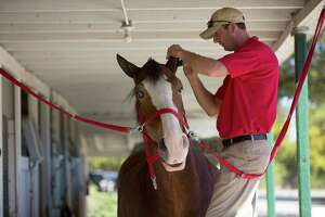 Dennis Knepp, trims the hair of a Budweiser Clydesdale at the Houston Polo Club as 10, 2,000-pound Budweiser Clydesdales were walked, washed and trimmed in preparation for their appearance in the the 65th Annual H-E-B Thanksgiving Day Parade Wednesday, Nov. 26, 2014, in Houston. The parade begins at 9 a.m. downtown.