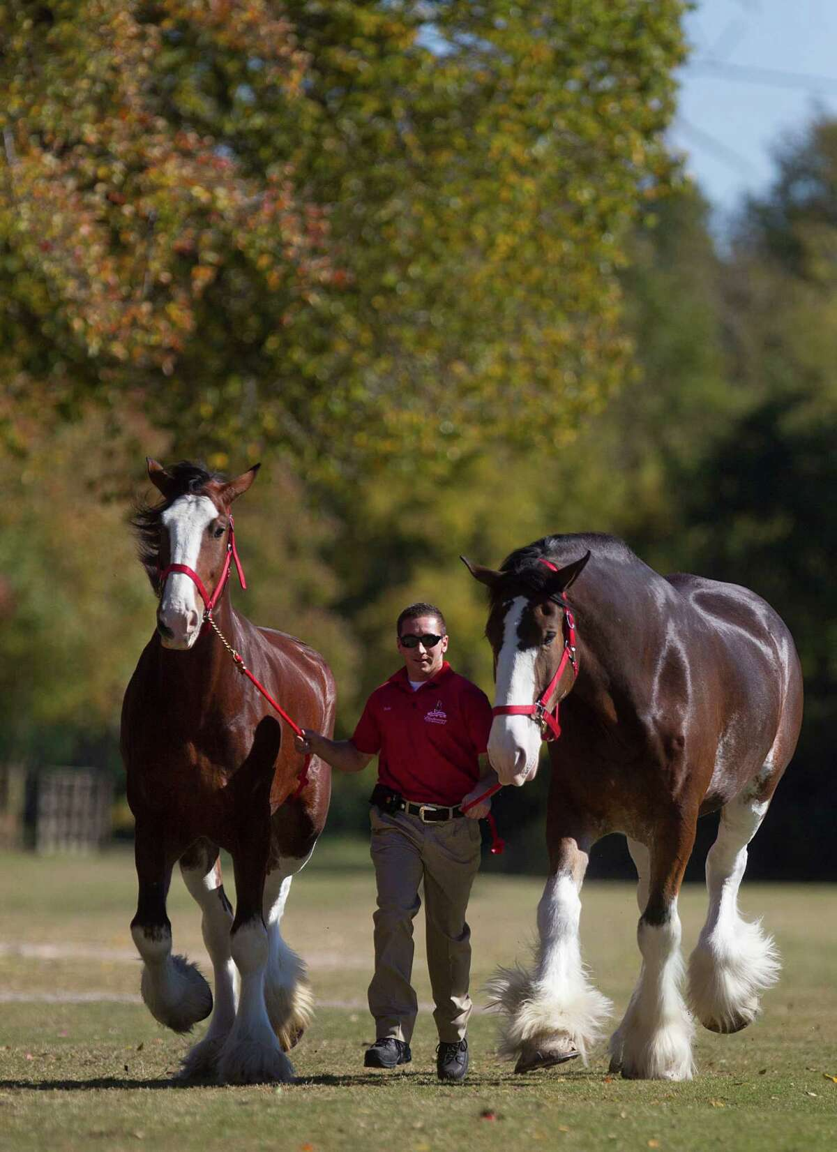Rudy Helmuth walks Roger, right, and Fire, Budweiser Clydesdales at the Houston Polo Club as 10 Budweiser Clydesdales were walked, washed and trimmed for their appearance in the the 65th Annual H-E-B Thanksgiving Day Parade on Thursday, Nov. 27, 2014, in Houston. The parade begins at 9 a.m. downtown.