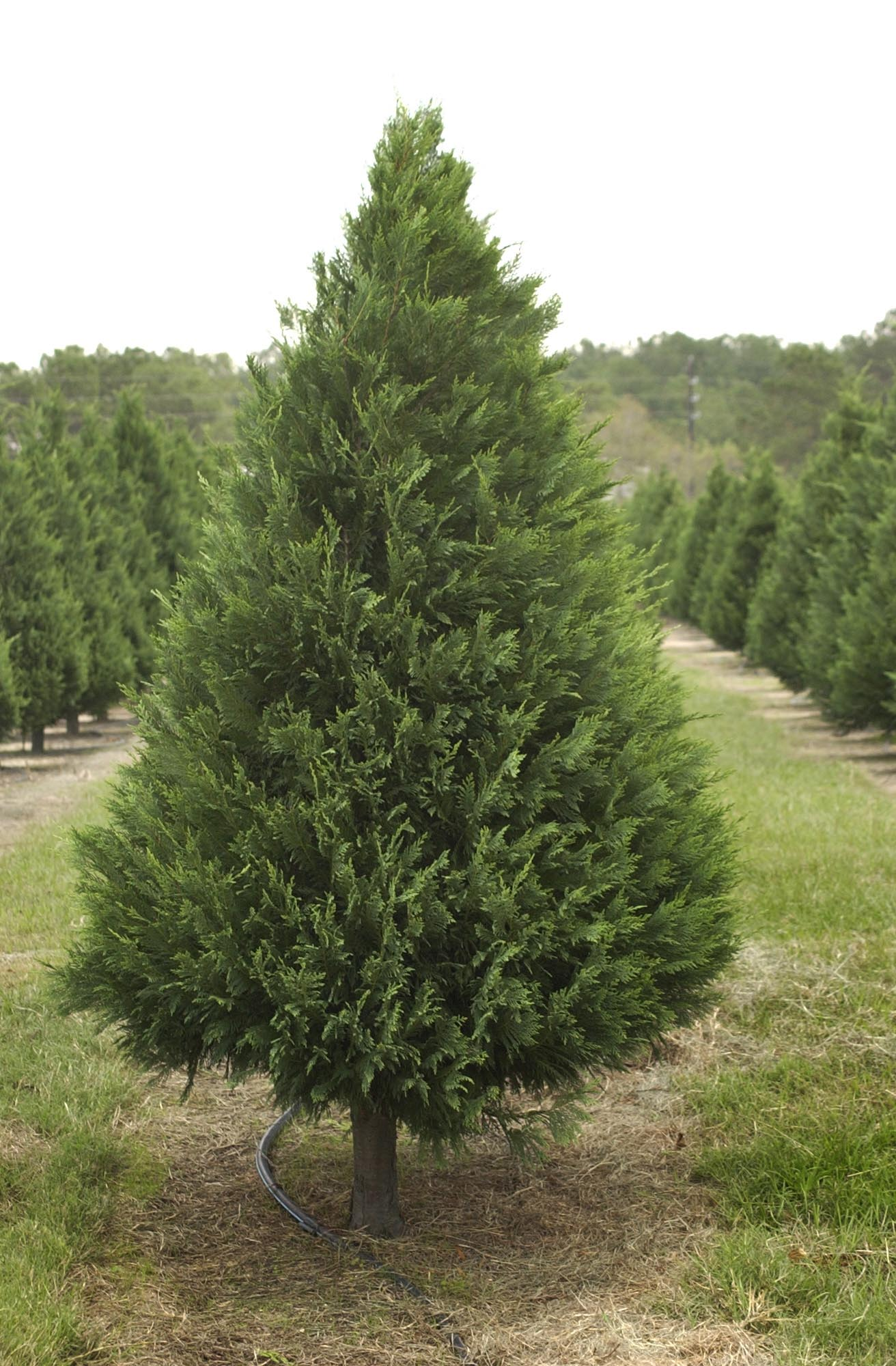Choose and cut the perfect Christmas tree at an area farm ...