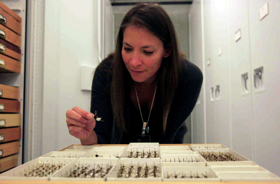 Dr. Michelle Trautwein, the new curator of flies for the California Academy of Sciences, inspects a bee fly specimen inside the collections room Friday, October 24, 2014. Lipochaeta Ranaica, a new fly discovered by Trautwein Photo: Jessica Christian / The Chronicle / ONLINE_YES
