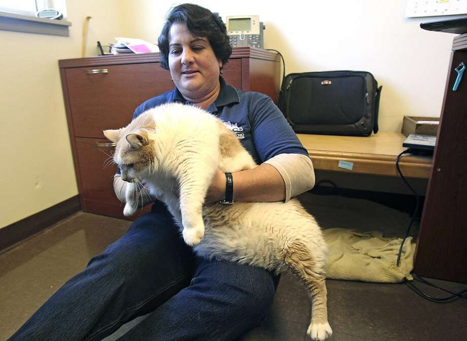 HOW YOU CAN TELL IF YOU'RE TOO FAT: 1) You weigh 31 pounds; 2) you're a cat; 3) they named you Butterball. (Adoption supervisor Bethany Colonnese holds Butterball the cat at Animal Care Services in San Antonio. Careful you don't throw out your back, Bethany!) Photo: Tom Reel