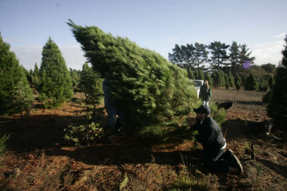 FILE-- Christopher Foss of Petaluma backs away as the Christmas tree he cut with his family falls to the ground at Garlock Tree Farm in Sebastopol on November 26, 2006.  This was the third tree farm they visited that day in their search for the perfect tree. Photo: Lea Suzuki, SFC